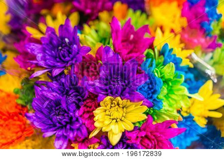 Multi colored dyed daisies in bouquets on display