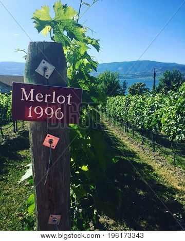 Closeup of vineyards in summer with sign on post. Merlot 1996. Scenic view of lake and mountains with clear blue sky background.