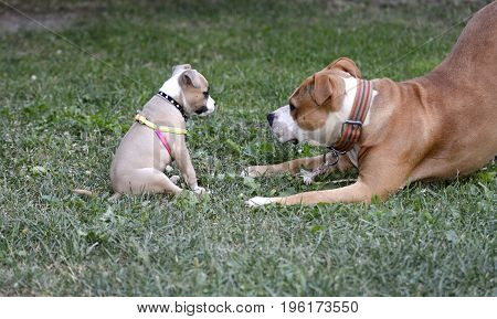 american staffordshire terrier, bitch and puppy playing, pet theme