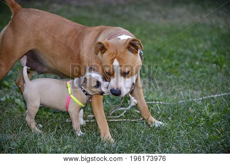 American Staffordshire Terrier, Bitch And Puppy Playing