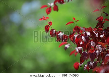 Bright red leaves in a summer forest. Fresh and red leaves of plum on a blue sky background. Red leaves. Fresh, bright red leaves plums. Sunny pink foliage.