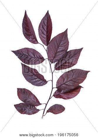 Close-up of organic, fresh and bright red autumn leaves, isolated on a white background. Sunny pink foliage on a brown branch. Breathtaking colorful environment. Red leaves from a plum tree.