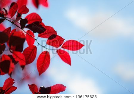 Organic, fresh and red autumn leaves on a bright blue sky with clouds background. Sunny pink foliage on a plum tree branch in a light park. Breathtaking colorful environment. Environment.
