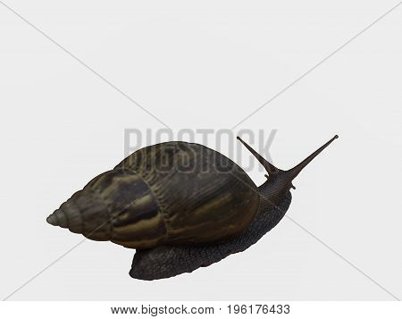 Snail Beautiful natural animals.isolated on white background with (clipping path)