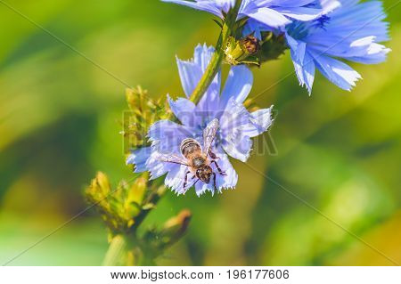 wildflowers blue shade on a soft background meadows, bee collecting honey