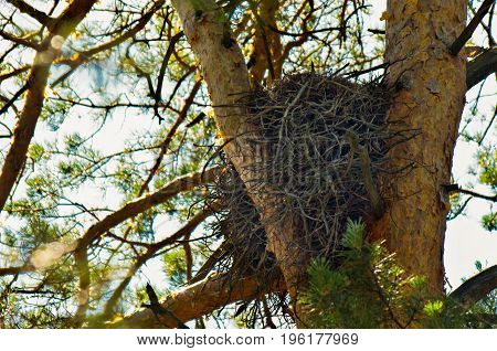 Abandoned empty eagle's nest among the pine tree branches in the woods