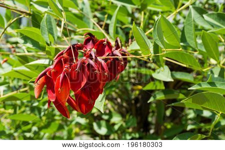 View on a blooming Red Flower. Close-up of a beautiful purple Flower. Blooming Flowers in Summer. Erythrina crista-galli.