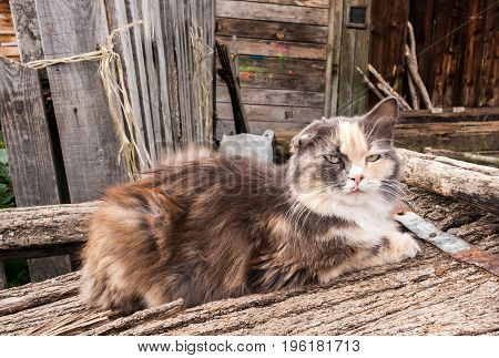 Old tattered rustic cat is lying on old wooden boards near the wooden house.