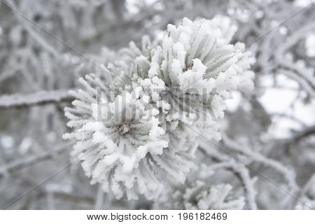 Extreme closeup of pine branches in wintertime