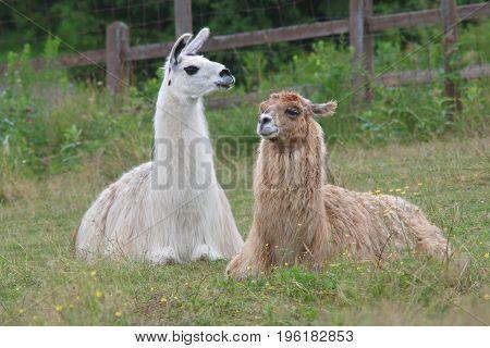 alpaca lama mammal resting in grass field farm animal livestock
