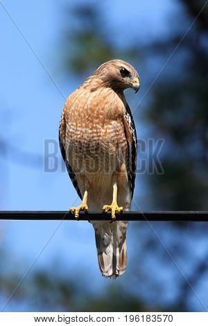 Red-shouldered Hawk (Buteo lineatus) on a perch in the Florida Everglades