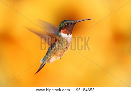Juvenile Male Ruby-throated Hummingbird (archilochus colubris) in flight with a colorful background