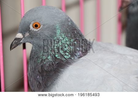 A Headshot of a Blue Bar Gaby Vandenabeele Racing Homer Pigeon