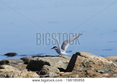 Arctic tern (Sterna Paradisaea) tentatively sitting on a rock with wings outstretched