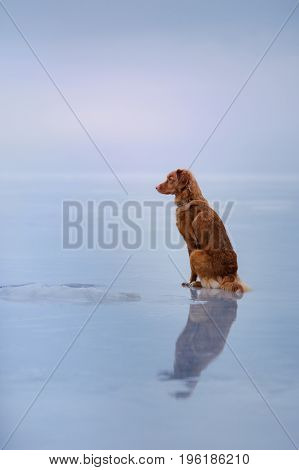 Nova Scotia Duck Tolling Retriever Sits On The Ice