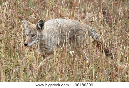 Western Coyote (Canis latrans) in a field in Yellowstone National Park