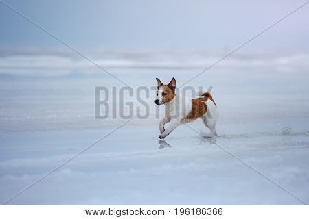 Dog Jack Russell Terrier Running On Ice
