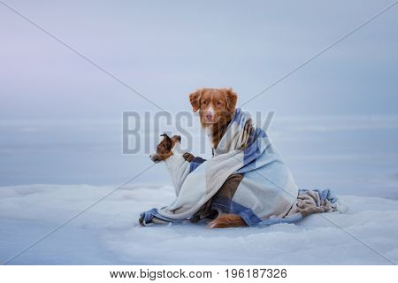 Jack Russell Terrier and Nova Scotia duck tolling Retriever on the ice under a blanket