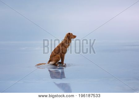 Nova Scotia duck tolling Retriever sitting on the ice on a frozen lake