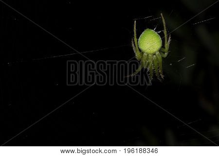 Little green spider in its web by night