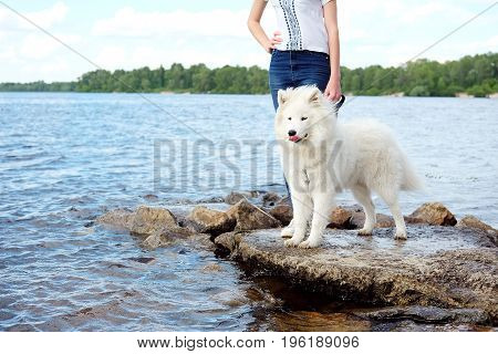 White Samoyed laika girl dog in the park outdoor in summer being walked on leash near the riverside. Large breed herding dog.