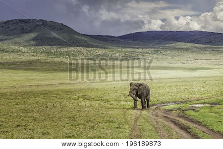Lonely elephant in Serengeti proudly walking alone