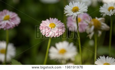 Summer Flowers Marigold