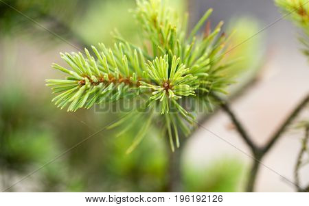 Sprig of pine and cones young coniferous tree