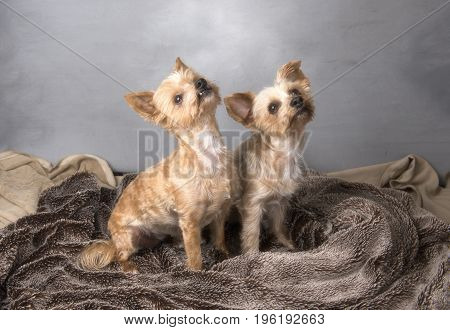 Two beautiful Yorkshire terriers sitting down on a blanket