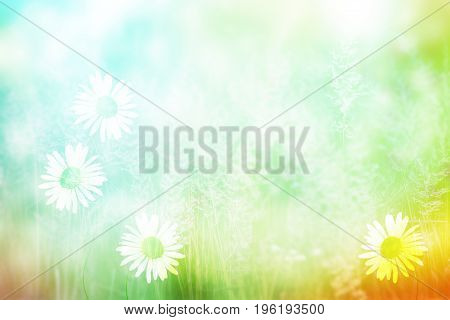 Blurred image of grass. White bright daisy flowers.
