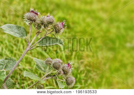 The flowers of the field. Flowering Great Burdock (Arctium lappa)