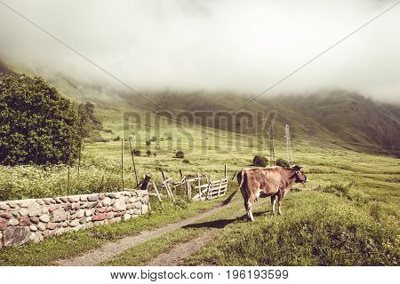 Dairy cow on summer green grass. Farm animal. Rural landscape. Farming concept. Clouds descending over georgian meadow. Copy space. Georgia. Ecotourism. Mountain valley. Graze cattle. Lush pasture