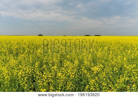 Prairie landscape of a bright yellow canola field.