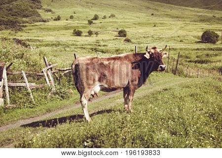 Dairy cow. Summer green lawn. Farm animal. Rural landscape. Farming concept. Georgian meadow. Georgia. Ecotourism. Mountain valley. Graze cattle. Lush pasture. Organic product. Sad and alone