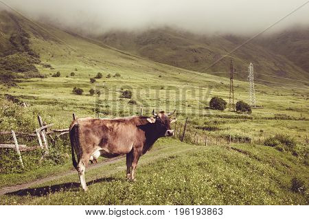 Sad dairy cow look at camera. Farm animal. Rural landscape. Farming concept. Clouds descending over georgian meadow. Copy space. Georgia. Ecotourism. Mountain valley. Graze cattle. Lush pasture