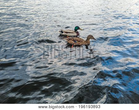 Couple of ducks swimming in the river