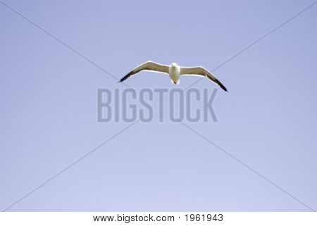 poster of Seagull in flight with symmetrical spread wingspan