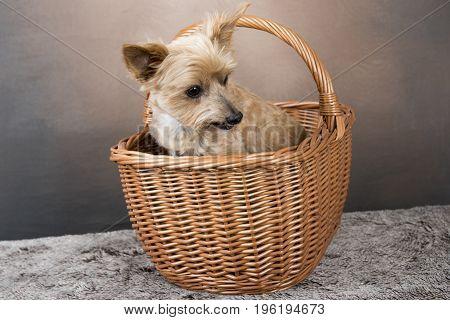 One golden Yorkshire terrier sitting in a wicker basket