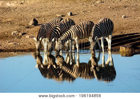 Small group of thirsty Zebra and their reflections drinking at a waterhole in Etosha