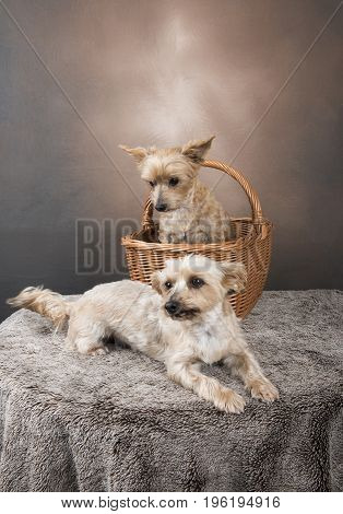 Two golden Yorkshire terriers laying down and sitting in a basket