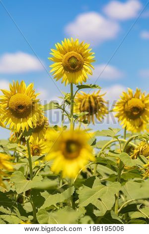 Field of blooming sunflowers on a blue sky with clouds. Be different concept.