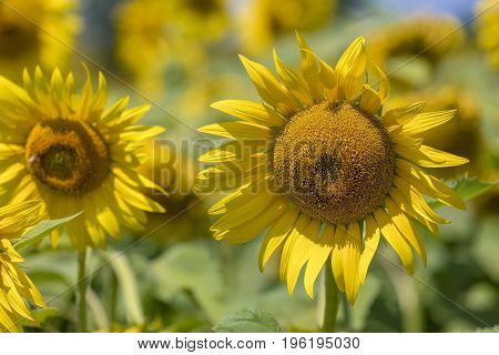 Closeup of sunflower. Background colorful sunflowers in bright summer.