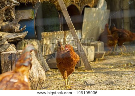 Brown chicken standing near coop. Chickens in the farmyard.