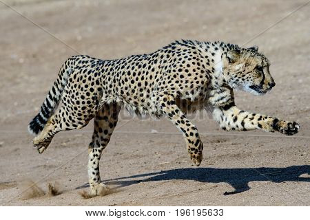 Cheetah showing its speed and movement  running at full tilt