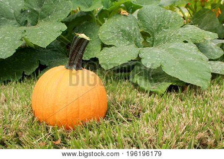 A harvested pumpkin sits near a vine in a suburban home garden pumpkin patch.