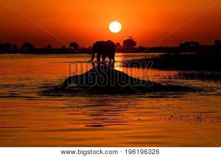 Elephant sunset on the Chobe river in Botswana