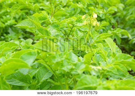 Potato field. Inflorescence Bush.Farmer`s field with a vegetable culture of potatoes.