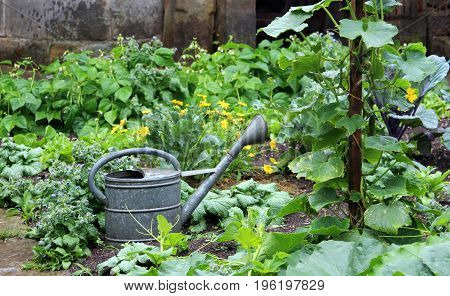 vegetable garden with a retro watering can made of zinc