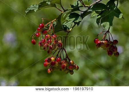 Berries of red Viburnum opulus with leaves in natural background, Central Balkan mountain, Stara Planina, Bulgaria