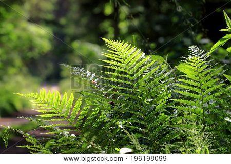 Bunch of ferns brightly lit against dark fuzzy background in summer, Bialowieza Forest, Poland, Europe